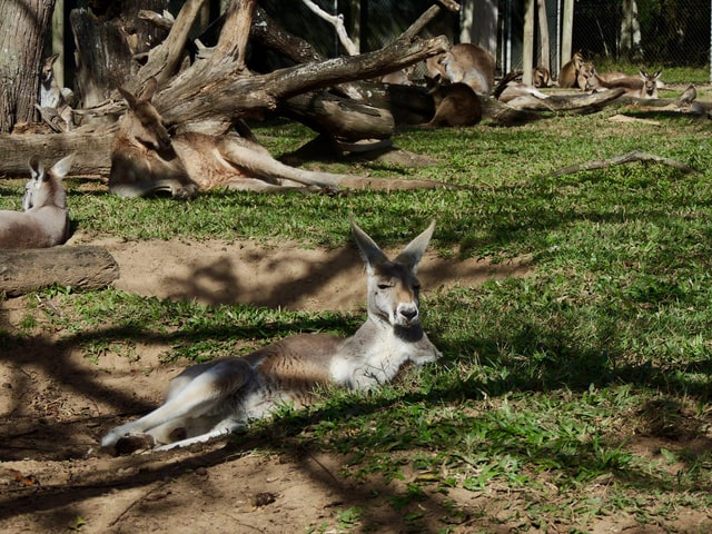 Kangaroos lying in a shade | provide a shade to protect pets from direct summer sunlight
