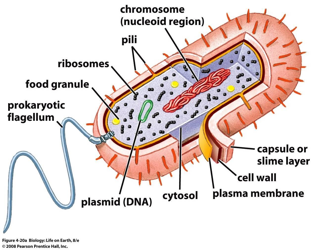 Resultado de imagen de structure of an a cells prokaryotic