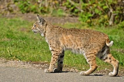 Bobcat or Lynx