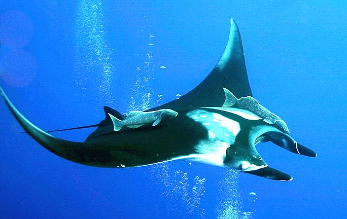 manta ray 1.jpg