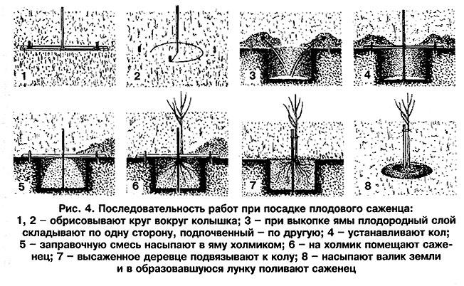 Посадка плодового саженца - последовательность работ
