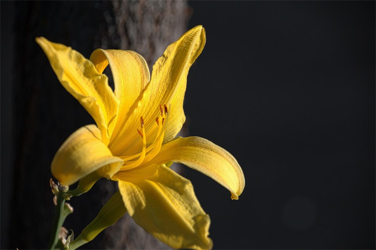TJ Lily 2.jpg