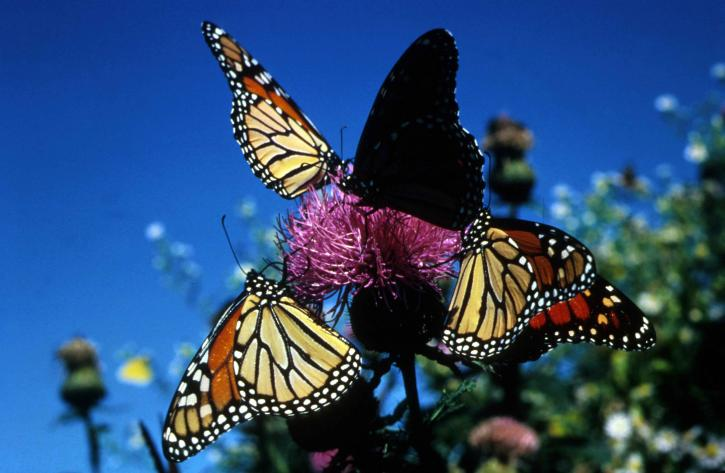 monarch-butterflies-Crete.jpg
