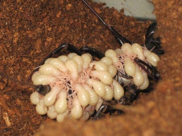 鞭尾蝎雌性