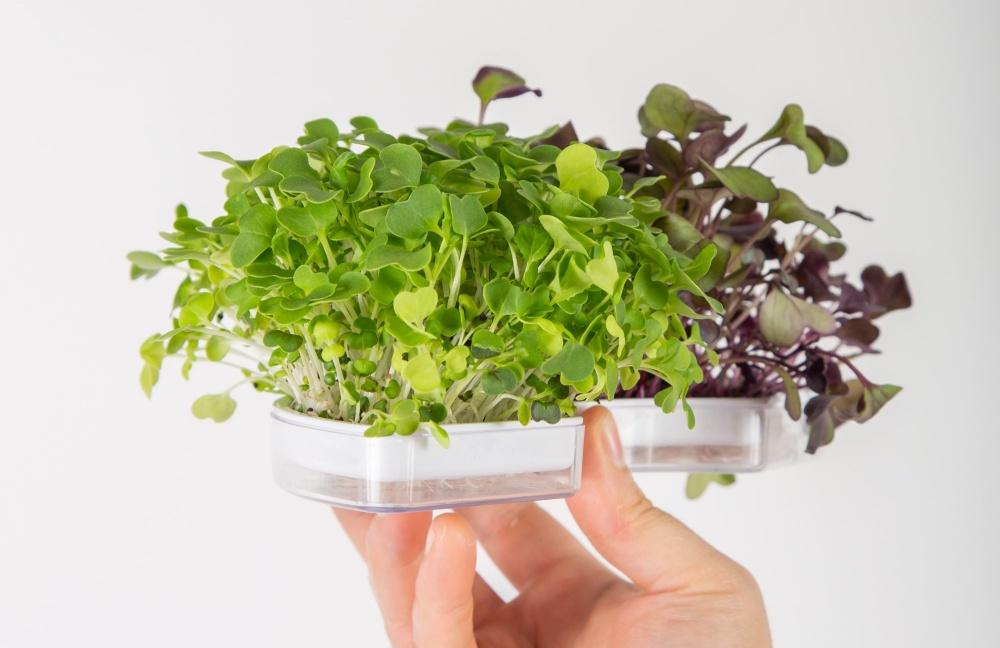 tanaman microgreen