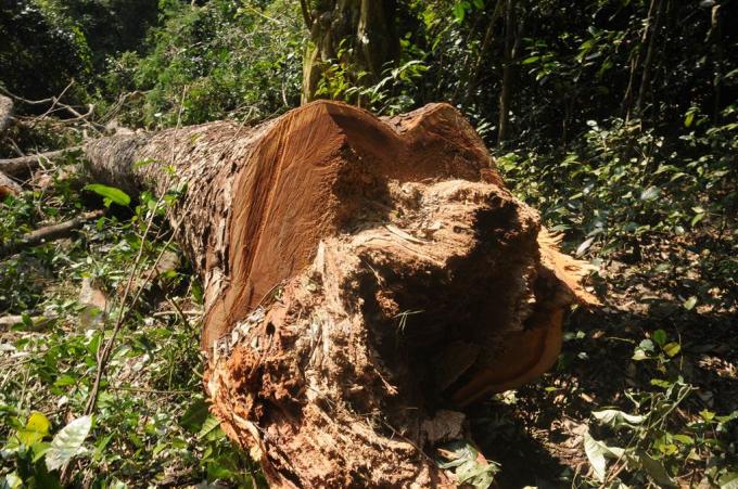 Khai thác gỗ Nghiến