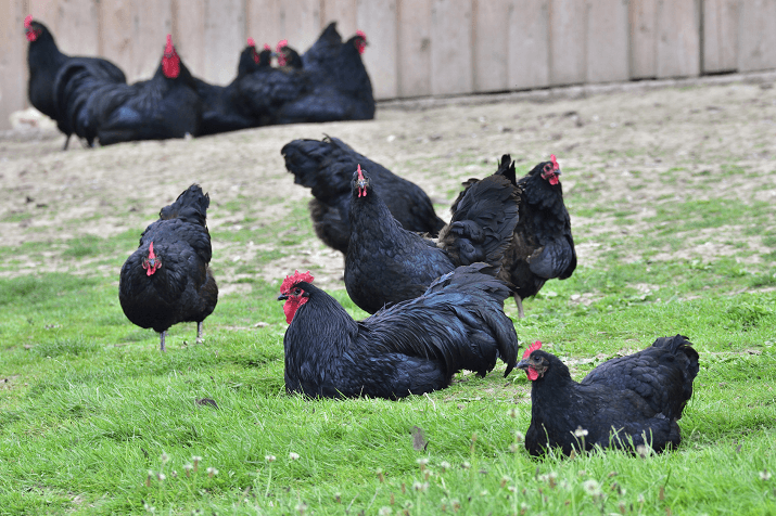 """""""Black Australorps are gentle and quiet: tremendous layers, producing tons of large brown eggs.  They are among the best egg producing breeds in the world, and currently hold the record for most eggs produced per annum.""""- mypetchicken.com"""