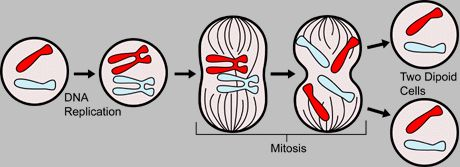 The cell undergoes mitosis to create two identical diploid cells.