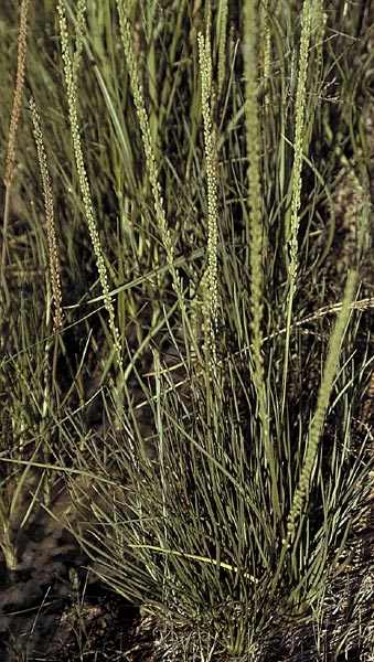 Arrow grass showing grass-like leaves and seed heads