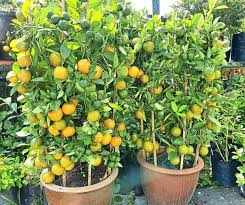 Image result for plants and flowers and fruits for lunar new year