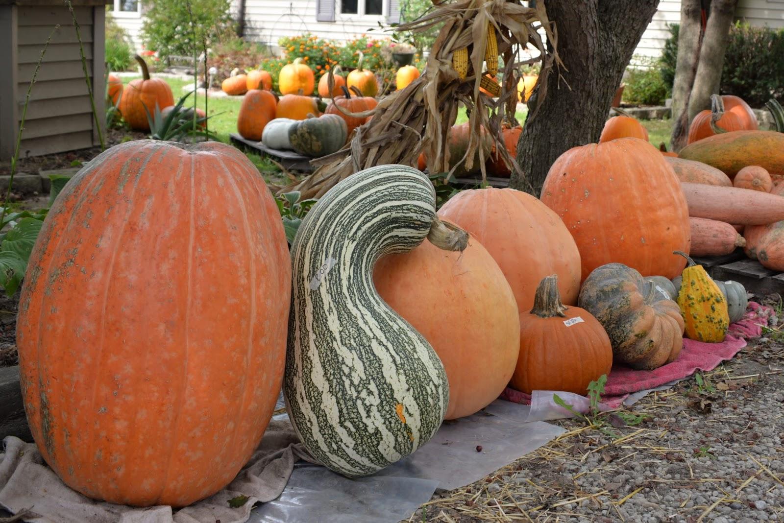 bigass pumpkin.jpg