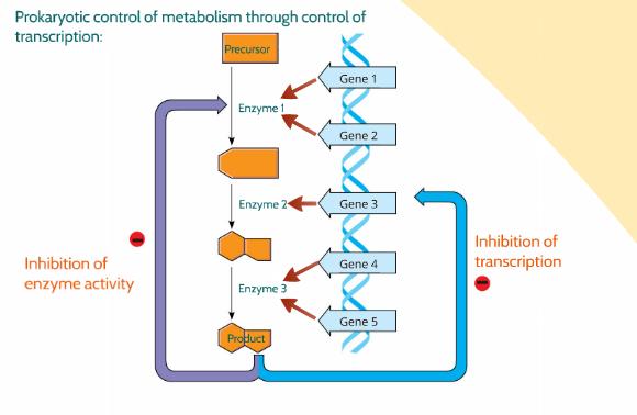 inducible operons usually encode anabolic enzymes and repressible operons encode catabolic enzymes