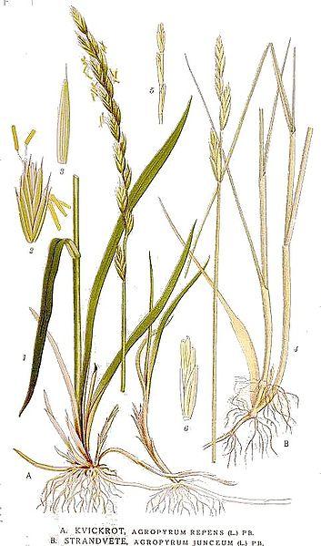 Principales plantas dunares