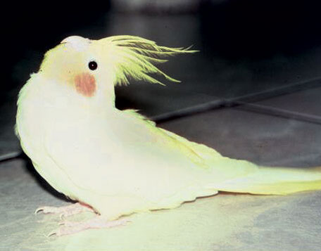 A young cockatiel (Nymphicus hollandicus) demonstrates the marked dorsiflexion of the neck seen with opisthotonus
