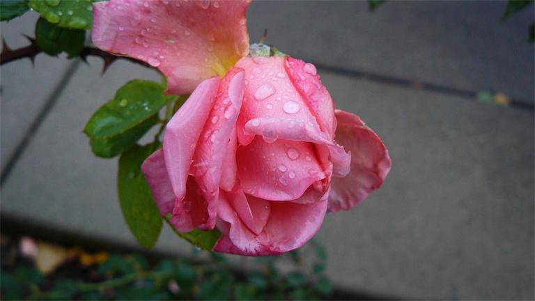 Wet Pink Rose.jpg