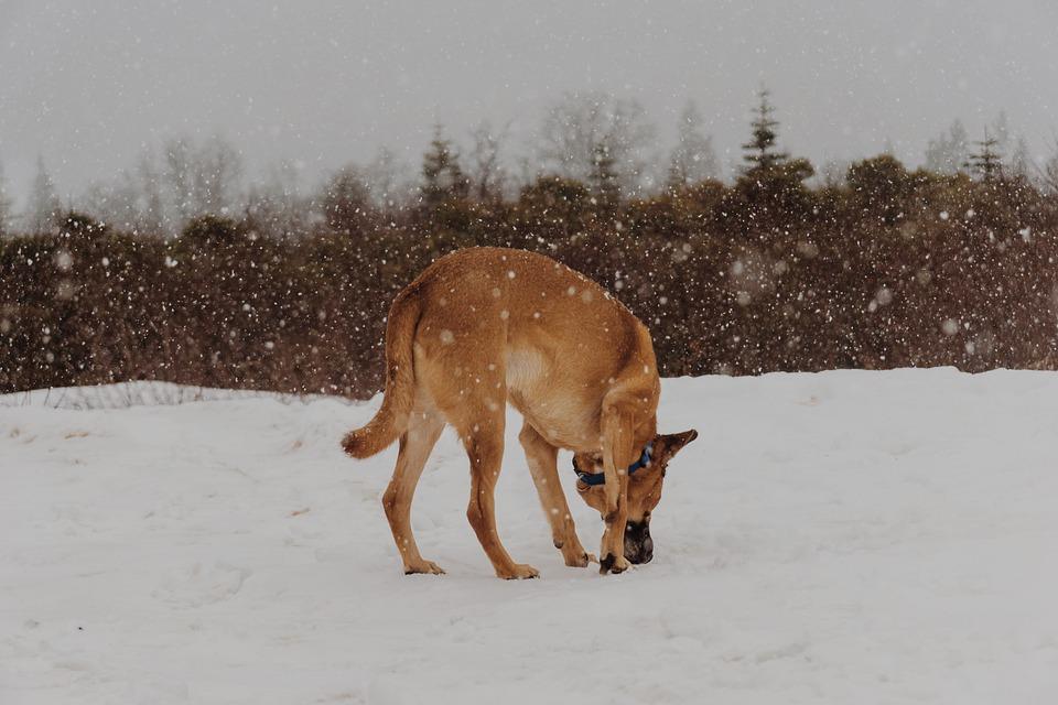 Dog Snow, Shepherd, Snow, Winter, Dog, Pet, Animal