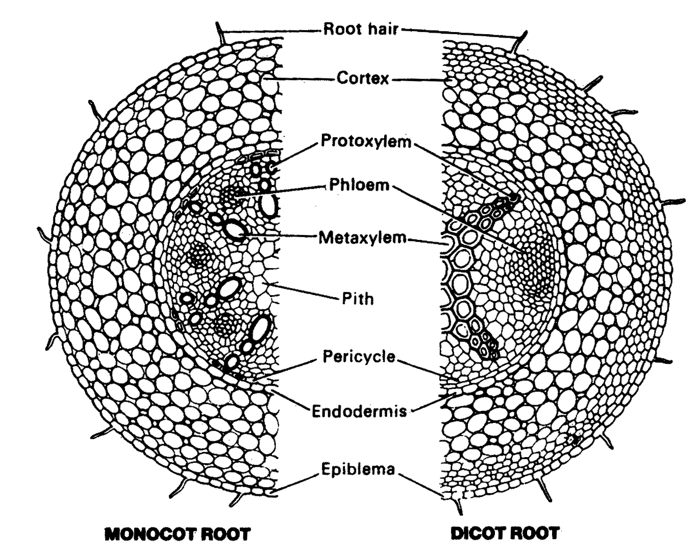 Internal Structure Of Root Of Anatomy Of Flowering Plants In Botany