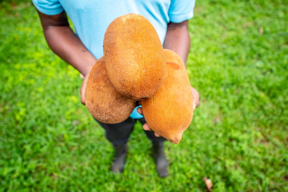 Iniciativa vai promover aporte de conhecimentos para elevar produtividade do cupuaçuzeiro. (Fonte: Shutterstock)
