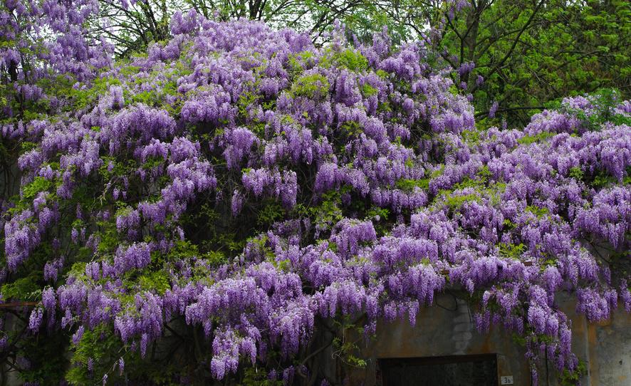 Kolor niebieski w ogrodzie 2