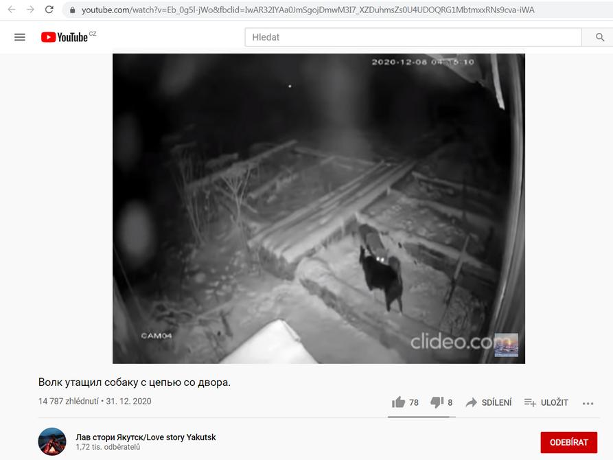 Video vlka, který zabil psa na řetězu pravděpodobně také v Rusku