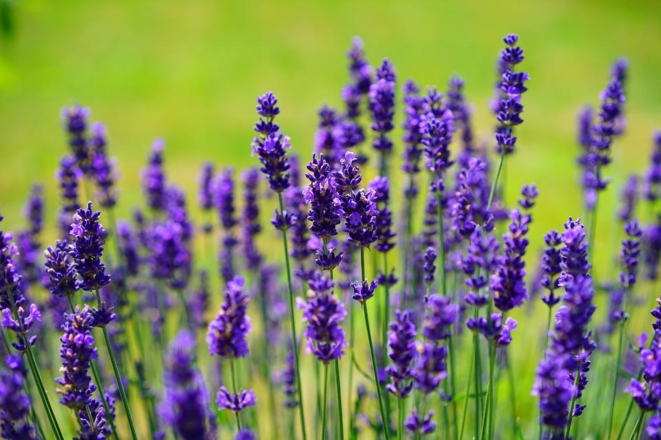 lavender-1117275_960_720.jpg