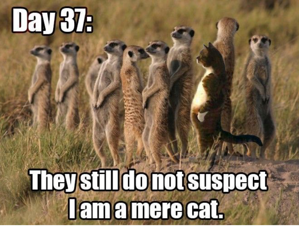 "Meme of several meerkats and one regular house cat among them with caption ""Day 37: They still do not suspect I am a mere cat"" with play on meerkat versus just a mere cat"