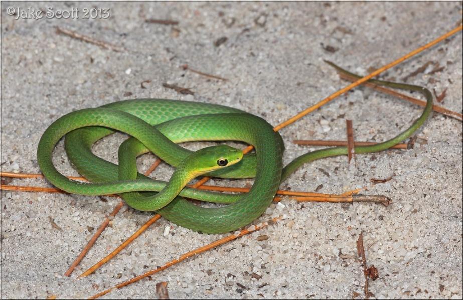 Mga resulta ng larawan para sa florida rough green snakes