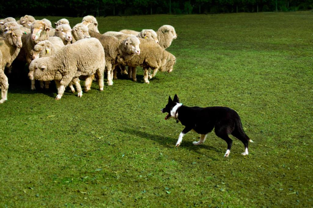 Do herding dogs automatically know how to herd? | Dog Training | Animal  Planet jobs for dogs in human territory