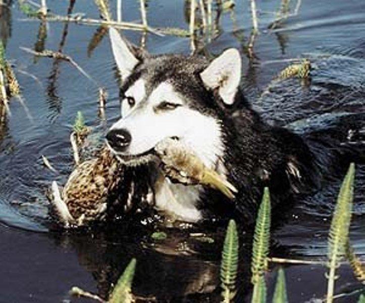 Пойманная утка