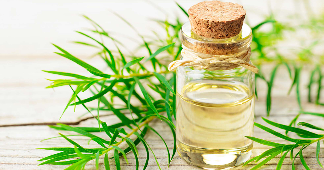 cách chữa hôi miệng bằng tinh dầu tràm