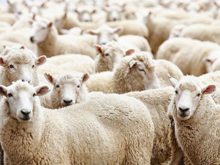 Kết quả hình ảnh cho chúng ta là bầy cừu
