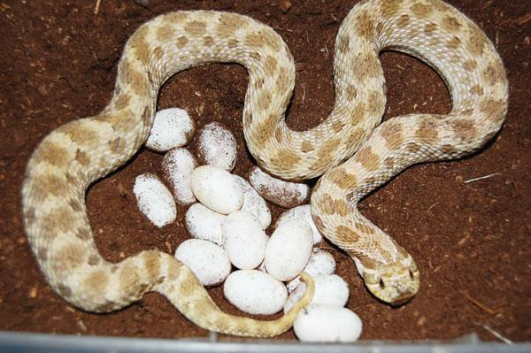 Image result for WESTERN HOGNOSE SNAKE DEVELOPMENT AND REPRODUCTION