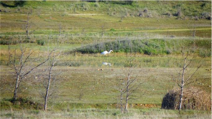White Crane.jpg