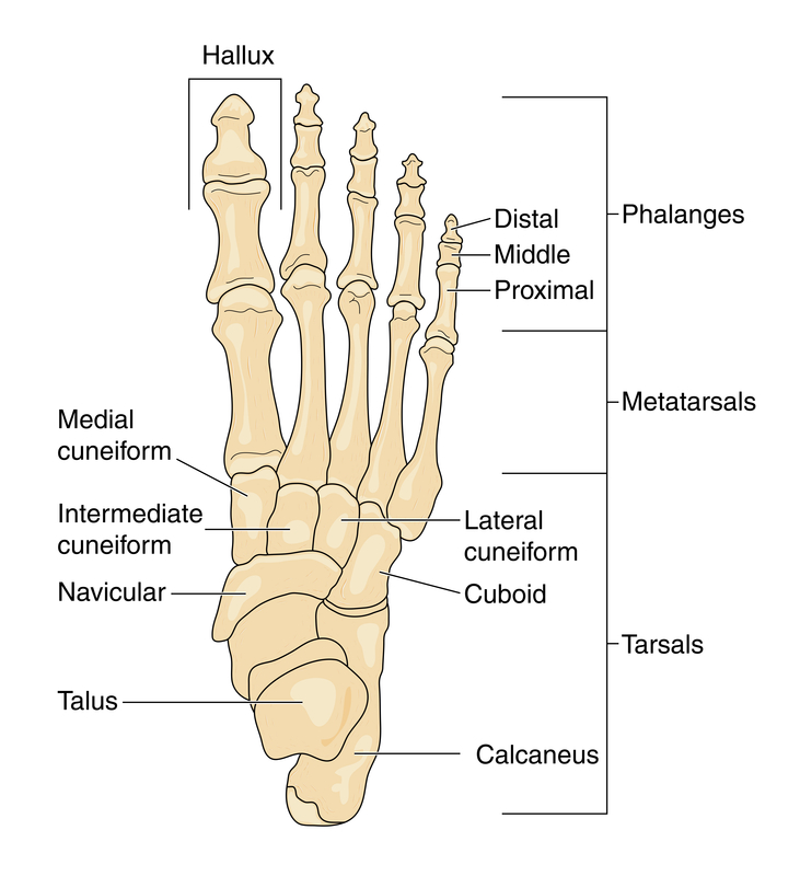 Foot and Ankle Problems By Dr. Richard Blake: Foot Anatomy and ...