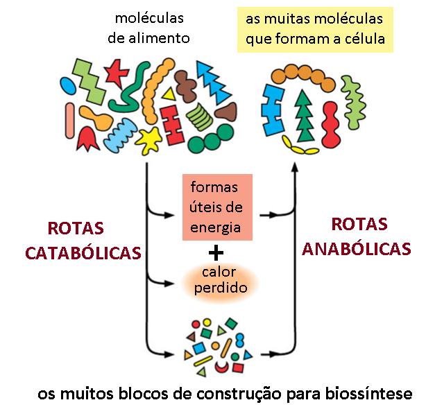 Rotas catabolicas anabolicas 02.png