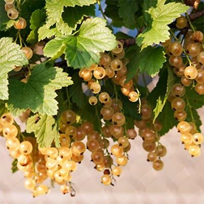 A picture containing plant, white currants