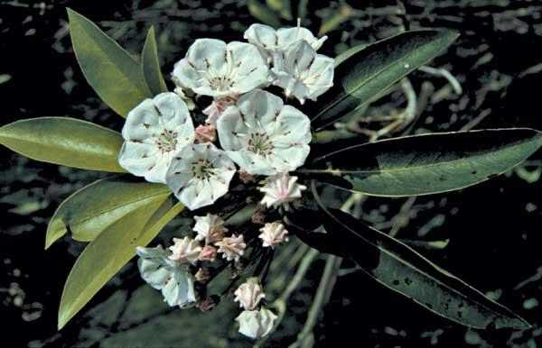 Mountain laurel flowers