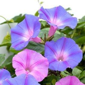 http://img.thrfun.com/img/005/098/blue_and_pinkish_purple_morning_glory_l.jpg