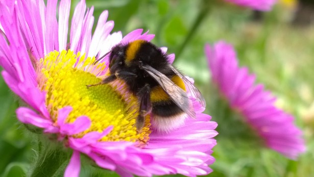 bumble-bee-on-flower-1414773531FiP.jpg