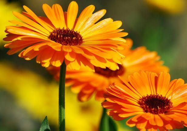 3. ดอกดาวเรืองฝรั่ง (Calendula Extract)