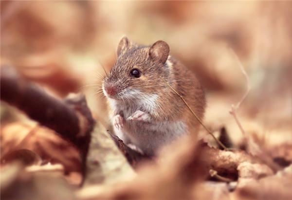 Giải mã chiêm bao thấy chuột với số đề Việt