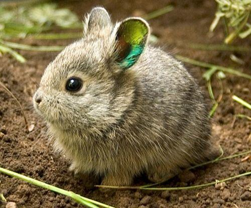 Image result for Columbia Basin Pygmy Rabbit