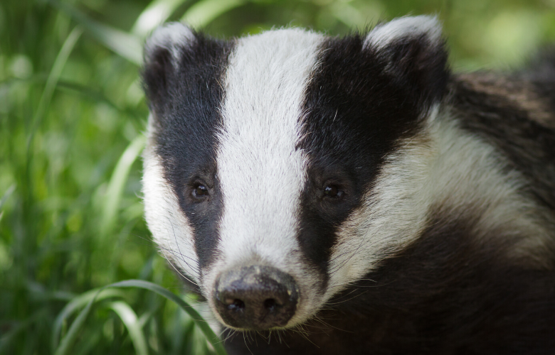 why are hedgehogs endangered? badgers are not to blame