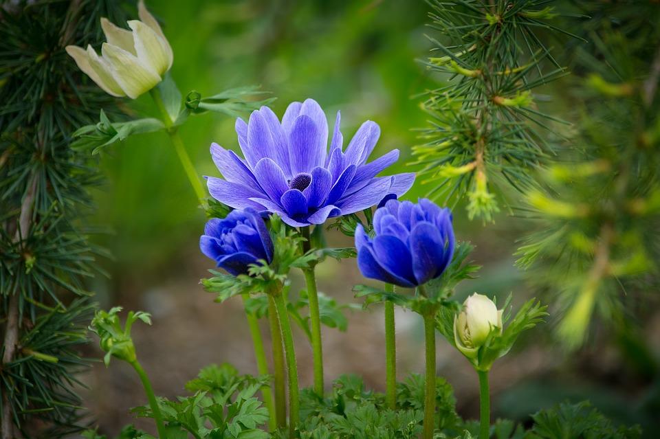 Kökörcsin, Hahnenfußgewächs, Virágzás, Kivirul, Virág