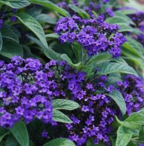 Image result for heliotrope fragrant blue