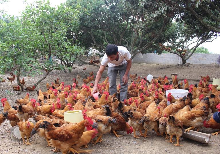 Cách phòng tránh bệnh tụ huyết trùng ở gà