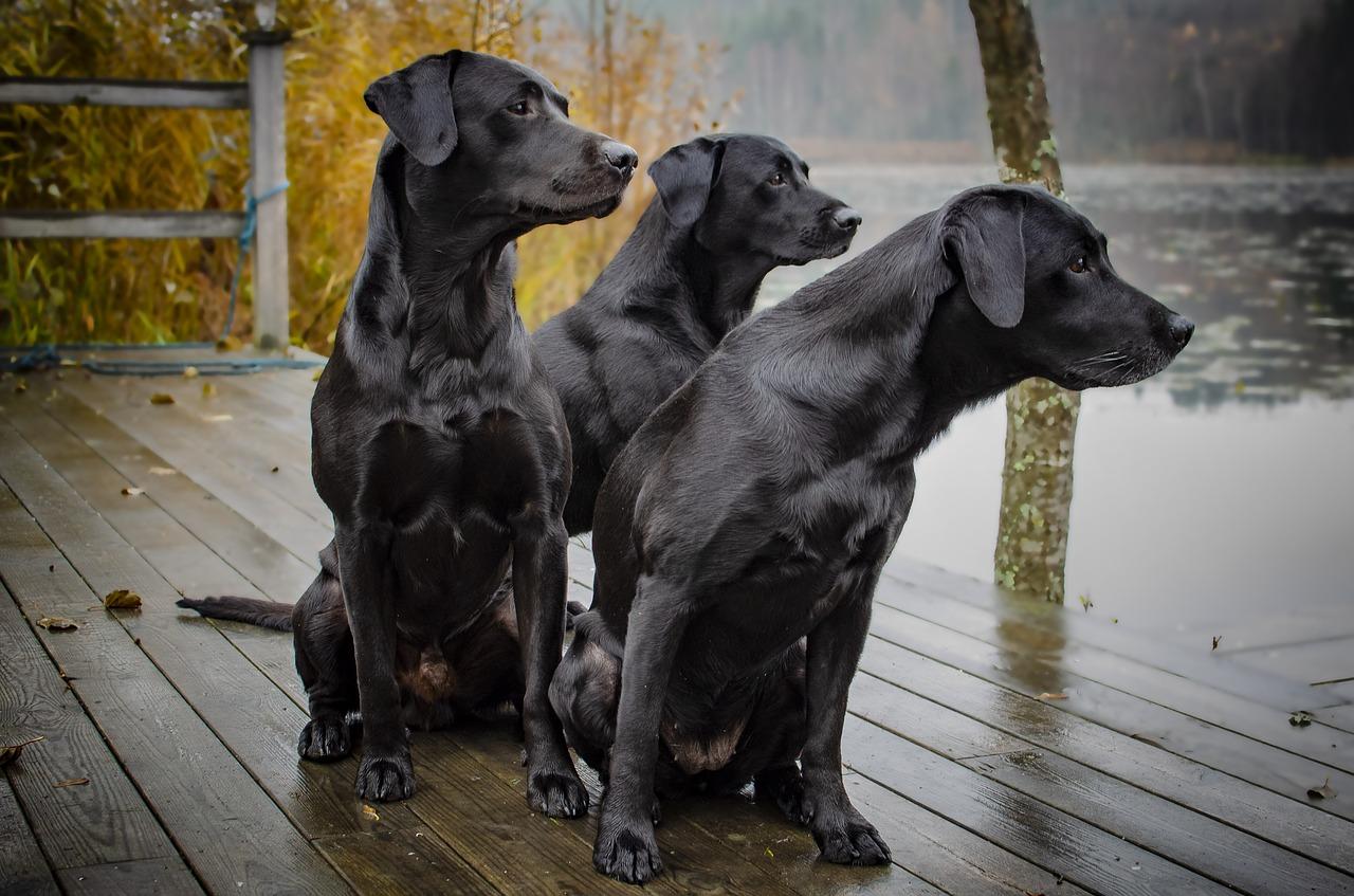 best dog breeds labrador