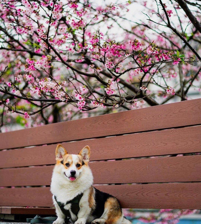 陽明山平菁街42巷櫻花盛開