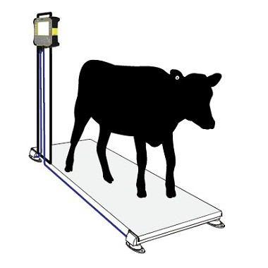 Minh Phúc tự tin cung cấp cân gia súc chất lượng