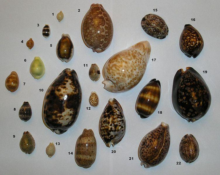 http://upload.wikimedia.org/wikipedia/commons/thumb/2/23/Different_cowries_named.jpg/753px-Different_cowries_named.jpg